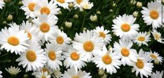 These daisys represent the flowers gertrude dropped into ophelias grave. Even though Ophelia didn't see her self as a daisy, many in the audience did which causes an emotional response