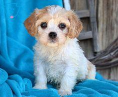 Marie | Cavachon Puppy For Sale | Keystone Puppies Opal Hair, Cavachon Puppies, Puppy Eyes, Puppies For Sale, Doggies, Animals, Little Puppies, Animales, Animaux