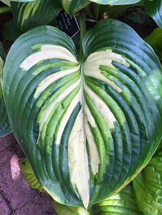 Hosta Star Wars Hosta Plants, Shade Plants, Garden Plants, Outdoor Plants, Outdoor Gardens, Trees To Plant, Plant Leaves, Hosta Varieties, Sempervivum