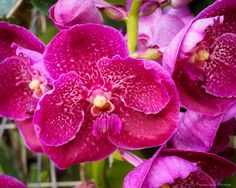 https://flic.kr/p/V8WGGx   Moth orchid - Phalaenopsis sp.   Moth orchid - Phalaenopsis sp.  Fairchild Tropical Botanic Garden