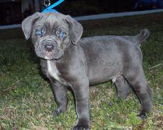 Cane Corso Italian Mastiff, Cane Corso Mastiff, Animals And Pets, Funny Animals, Cute Animals, Blue Cane Corso, Blue Nose Pitbull Puppies, D Is For Dog, Baby Animals Super Cute