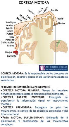 Infografía Neurociencias: Corteza motora. | Asociación Educar