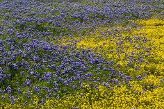 Wildflowers on Table Mountain near Oroville, California.
