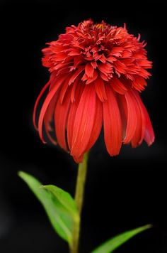 Coneflower ..... hot papaya One of my favorites......I have found that pops of red throughout the garden make me smile!