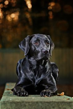 Black beauty...what a dog...perfection!