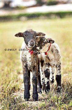 .lamb love