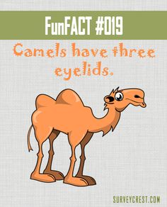 Did you know that camels have three eyelids? How weird is that!  #DYK #funfact