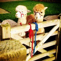 The boys are looking forward to a busy week of alpaca trekking #alpaca #northumberland #alpacatrekking #glamping