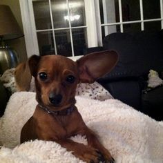 Chiweenie! he looks just like my baby, i might be getting rid of him :((