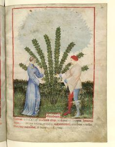 Nouvelle acquisition latine 1673, fol. 33, Récolte du marrube. Tacuinum sanitatis, Milano or Pavie (Italy), 1390-1400.