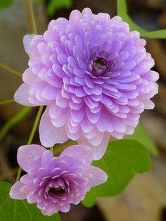 Hepatica ~ lavender ✿⊱╮