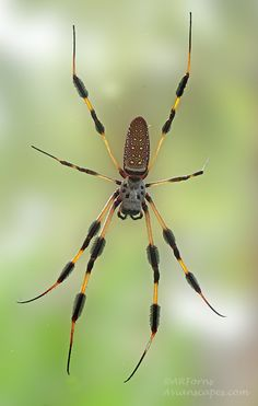 What would you do if you see this spider? Spider by Alfred Forns Reptiles, Spider Species, Cool Bugs, Itsy Bitsy Spider, Beautiful Bugs, Bugs And Insects, Mundo Animal, Weird Creatures, Chenille