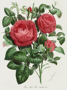 """Rose """"Paul Neyron"""" - 1845 Charles Lemaire Flore de Serres Prints"""