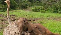 Avestruz adoptó a un elefante después de perder a su manada