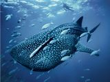 swimming with a whale shark - one of the most awesome experiences of my life!