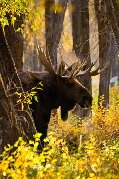 bull moose amongst fall cottonwood and willows leaves, Grand Teton National Park, Wyoming | Free Roaming Photography