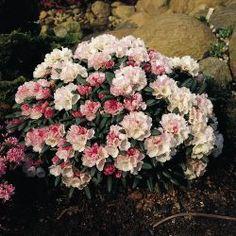 Rhododendron 'Koichiro Wada' / 'FCC' - Rhododendron yakushimanum 'Koichiro Wada' / 'FCC'