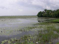 Esta é Kuttanad no distrito de Aleppuzha, estado de Kerala, Índia. A colheita é longa e a água entra nos campos cultivados. Kuttanad é um dos poucos lugares no mundo onde a agricultura é realizada abaixo do nível do mar.   Fotografia: Joe Zachs no Flickr.