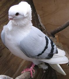 Old German Owl Pigeon Pet Pigeon, Pigeon Loft, Dove Pigeon, Pigeon Bird, Pigeon Pictures, Bird Pictures, All Birds, Love Birds, Pretty Birds