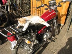 An animal (cat) on a motorcycle