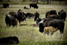 Title  The Bison Herd  Artist  Belinda Greb  Medium  Photograph - Photographs, Photography, Photograph
