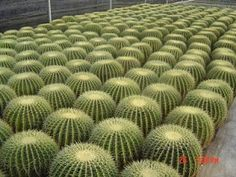 Plants with an almost mathematical geometry look amazing in masses or rows, and have a very contemporary aesthetic. Barrel cacti (Echincactus grusonii) are a perfect example.