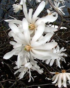 Some of our favorite Star Magnolias are blooming between Shoemaker and Faser Halls.