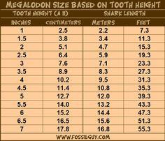 shark teeth chart | Megalodon Fossil Shark Tooth Size vs Megalodon Body Size Chart