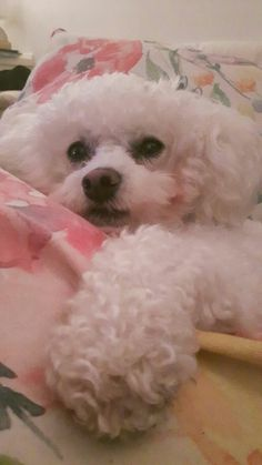 Yes, I am exausted! Puppies And Kitties, Teacup Puppies, Baby Puppies, Super Cute Puppies, Cute Dogs, Bichon Bolognese, Bichon Dog, Baby Animals, Cute Animals