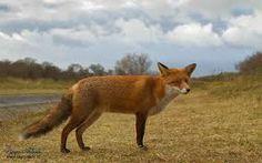 Afbeeldingsresultaat voor vossen dier