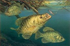 #art #fishing working undercover fish painting crappies