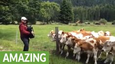 A herd of cows come over to hear accordion music played by this man in Garmisch, Germany. It's so crazy how they truly enjoy the music! Source & embed code: ...