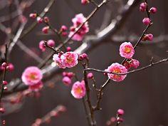 Ume (Japanese apricot) flowers in Engaku-ji