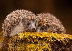hedgehogs by RobertAdamec #animals #animal #pet #pets #animales #animallovers #photooftheday #amazing #picoftheday