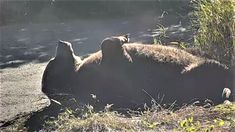 Katmai Queen (#410) taking her afternoon beauty rest.