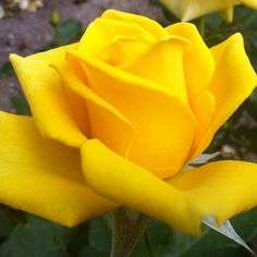 A yellow rose!! Symbolizes friendship!