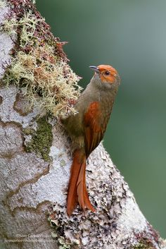 https://flic.kr/p/QqW8Ce | Red-faced Spinetail | Image taken in Costa Rica.  Many thanks for your comments, faves, and follows :) Juan Carlos   BLOG: Click Here  MY WEBSITE: Juan Carlos Vindas Photography  YOUTUBE CHANNEL: Click Here  Google + | Facebook | Twitter | 1X Photo | Instagram  ©Juan Carlos Vindas, All Rights Reserved.This image is protected by Copyright, and is not available for use on websites, blogs, v...