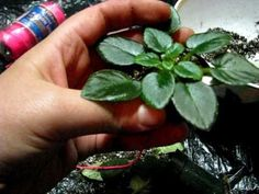 Repot an African Violet (quick!) - YouTube