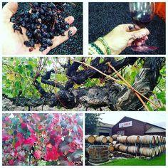 Exploring Barossa wine region during their fall crush!!