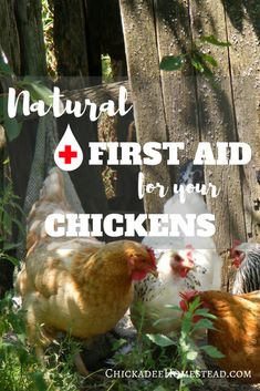 Natural Chicken First Aid - Chickadee Homestead