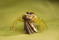 Salticidae - Epocilla calcarata (female) feeding on a hairy moth