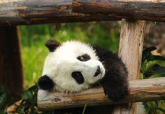 Giant Pandas - Where to See Pandas in China