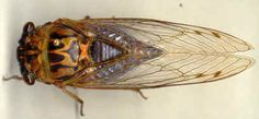 Cicadas, it has been 7 years since the last round, I only saw swarms of them for one single day this summer, what happened?