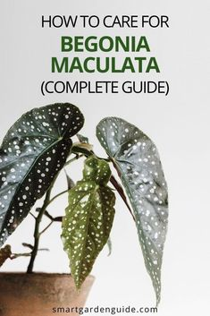 Complete guide to growing Begonia maculata, or the Polka-Dot Begonia, as it's commonly called. I cover everything you need to know to keep your houseplant happy. I also cover common begonia problems and how to fix them. Indoor Flowering Plants, Blooming Plants, Outdoor Plants, Air Plants, Begonia Maculata, Kitchen Plants, Smart Garden, House Plant Care, Garden Guide
