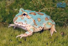"Argentine Horned Frog ""Blue"" ~ Ceratophrys ornata by Repticon, via Flickr"