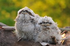 Tawny frogmouth chicks!