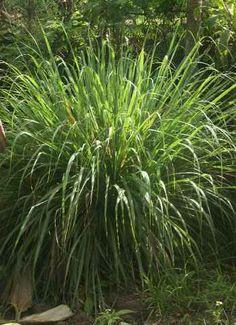 Cymbopogon citratus: Lemon grass bush