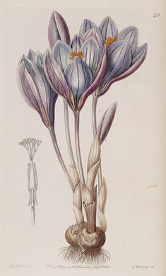 """Crocus"", 1839 - From ""Edwards's Botanical Register"", volume 25 (NS 2) plate 40, by Miss Drake (1803-1857) del., G. Barclay sc."