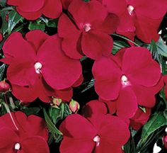 New Guinea Sonic® Red Impatiens