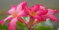Rose Flower - Red Rose Flowers, Garden, Pink & White Roses